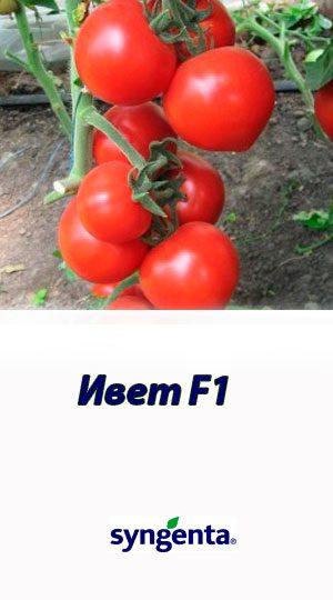 Tomat-Ivet-F1-Syngenta-2500-shtuk